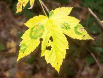 Yellow autumn leaf full forest dying foliage plant tree royalty free stock photos