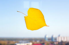 yellow autumn leaf on the glass of the Windows Stock Images