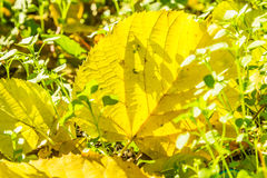 Yellow autumn leaf in the green grass Royalty Free Stock Photography