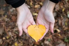 Yellow autumn leaf in hands stock photo
