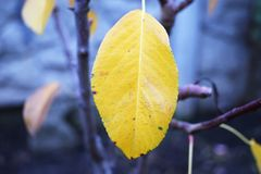 Yellow autumn leaf. Hanging on a tree branch Stock Photography