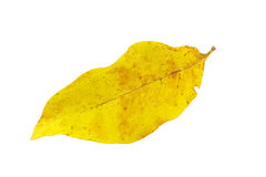 Yellow autumn leaf isolate on white Royalty Free Stock Images