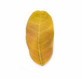 Yellow autumn leaf isolated on a white background. Royalty Free Stock Photos