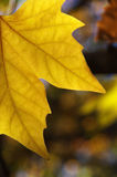 Yellow autumn leaf. Yellow autumn leaves in the sun Stock Photo