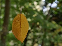 0514_yellow autumn leaf levitating in the air on a spider thread stock images