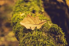 Yellow autumn leaf  lie on the moss-covered tree. Autumn sunny photography, close-up, there is a place for text. copy spase stock images