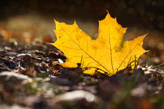 The yellow autumn leaf lies on the earth in sun beams Stock Photo