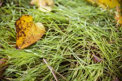 Yellow leave on green grass stock photo