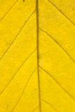 Yellow Autumn leaf macro Stock Images