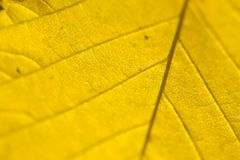 Yellow Autumn leaf macro Royalty Free Stock Images