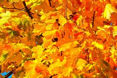 Yellow, Autumn, Leaf, Maple Leaf Royalty Free Stock Photography