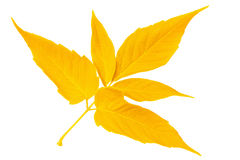 Yellow autumn leaf maple on white background royalty free stock images