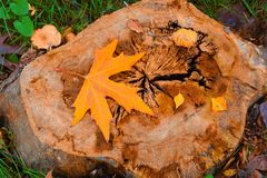 Yellow autumn leaf on old stump Stock Images