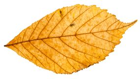 Yellow autumn leaf of parthenocissus plant. Isolated on white background Royalty Free Stock Photo