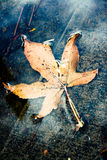 Yellow Autumn Leaf in a Puddle stock images