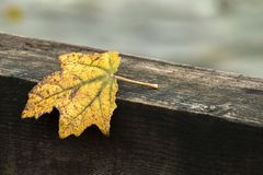Autumn and yellow leaf. Yellow autumn leaf resting on a dark wooden beam royalty free stock photos