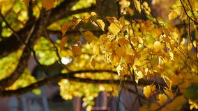Yellow autumn leaf swaying in the wind. Rays of the sun breaking through the leaf stock video