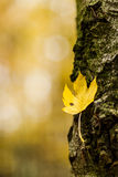Yellow autumn leaf on a tree trunk with bark Royalty Free Stock Photography
