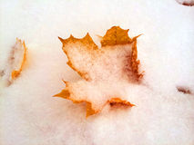 A yellow autumn leaf in the winter snow. A yellow fall or autumn leaf stuck in the winter snow Royalty Free Stock Photography