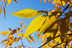 Yellow autumn leafs against blue sky Royalty Free Stock Photos