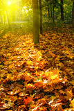 Yellow autumn leaves. In a park at sunset Stock Photography