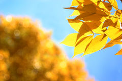 Yellow Autumn Leaves. Closeup of yellow leaves against blurred background of blue sky and tree of yellow leaves. Horizontal format Royalty Free Stock Image