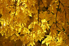 Yellow Autumn Leaves. Medium view of backlit yellow leaves against blurred background of yellow leaves. Horizontal format Stock Image