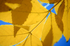 Yellow Autumn Leaves. Closeup of backlit yellow leaves against blue sky. Horizontal format Stock Photography