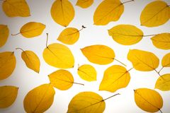 Yellow autumn leaves Royalty Free Stock Photography