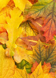 Yellow autumn leaves Royalty Free Stock Images