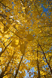 Yellow Autumn Leaves Stock Photos