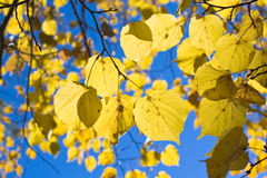 Yellow Autumn Leaves Stock Photo
