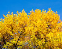 Yellow autumn leaves. On the trees stock images