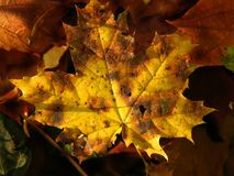 Yellow autumn leaves. Fall yellow autumn leaves Royalty Free Stock Image