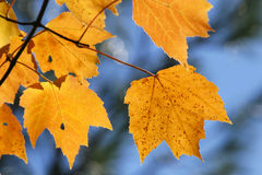 Yellow autumn leaves. Dry, yellow autumn color leaves on a tree Stock Images