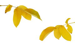Yellow autumn leaves. Yellow autumn walnut leaves over white background royalty free stock photography