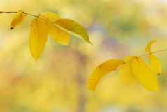 Yellow autumn leaves. Shallow focus on yellow autumn walnut leaves royalty free stock images