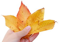 Yellow autumn leaves. Yellow autumn cherry leaves in hand like cards on game of poker, on white background royalty free stock image