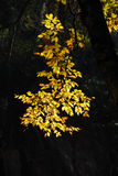 Yellow autumn leaves. With dark black shadowy background Royalty Free Stock Photos