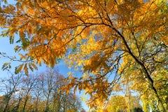 Yellow autumn leaves of acacia. Royalty Free Stock Photo