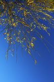 Yellow autumn leaves against blue sky Stock Images