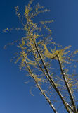 Yellow autumn leaves against blue sky Stock Image