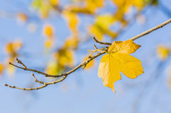 Yellow autumn leaves. Against blue sky Stock Photo