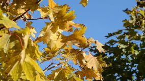 Yellow autumn leaves against the blue sky.  stock video