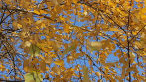 Yellow autumn leaves 1 stock video