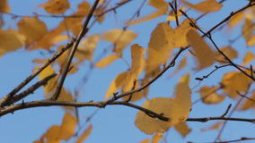 Yellow autumn leaves 3 stock video footage
