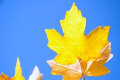 Yellow autumn leaves against blue sky stock photos