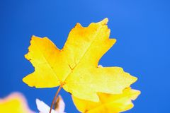 Yellow autumn leaves against blue sky royalty free stock photo