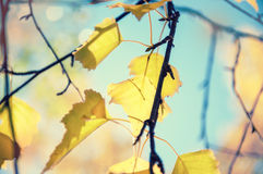 Yellow autumn leaves against the blue sky Royalty Free Stock Image
