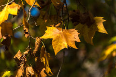 Yellow autumn leaves against dark trees background. Fall foliage Royalty Free Stock Photos